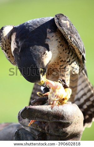 hawk on the falconer gloves and eating meat - stock photo