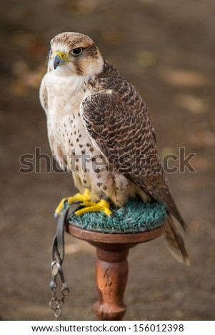 hawk perched proud and greedy - stock photo