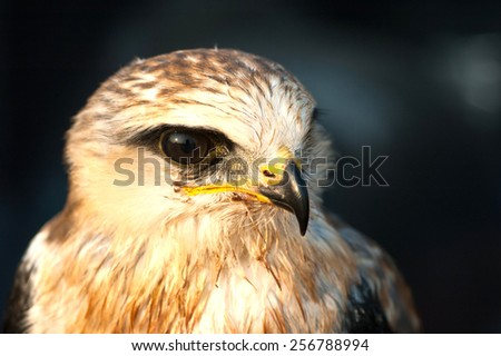 hawk portrait - stock photo