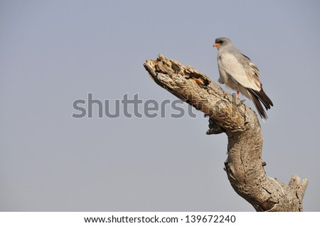 Hawk sitting on a branch in namibia, national park