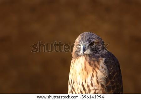 Hawk stand wood head turned left - stock photo