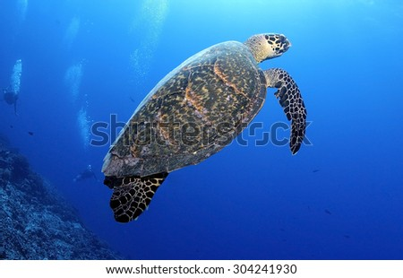 HAWKBILL SA TURTLE SWIMMING AROUND A GROUP OF DIVER