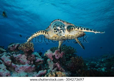HAWKBILL SEA TURTLE SWIMMING ON THE CORAL REEF