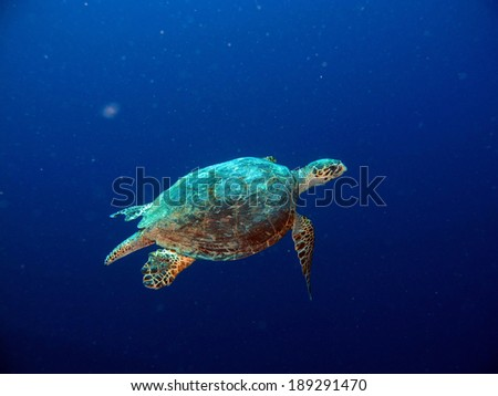 Hawkbill turtle swimming in the blue - stock photo