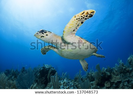 Hawks bill turtle seen from below swimming over the coral reef in the Riviera Maya, Mexico