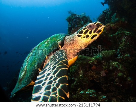 Hawksbil turtle (Eretmochelys imbricata), waiting and posing on the healthy beautiful reef of Komodo. Indonesia. - stock photo