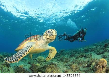 Hawksbill Sea Turtle and Scuba diver - stock photo