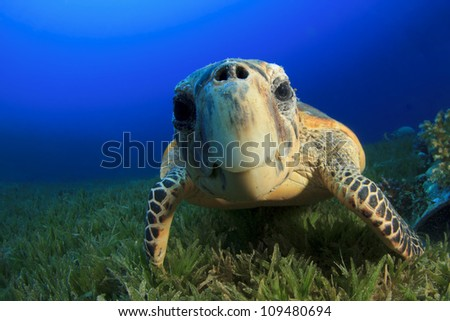 Hawksbill Sea Turtle close up - stock photo