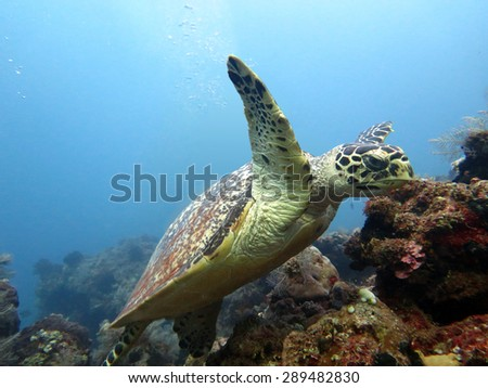 Hawksbill  sea turtle   current on coral reef  island, Bali. - stock photo