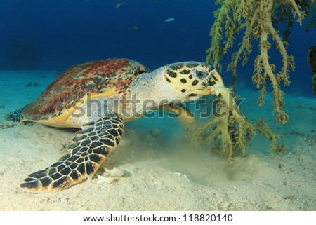 Hawksbill Sea Turtle eating soft coral - stock photo