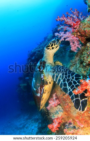 Hawksbill Sea Turtle eating soft corals - stock photo