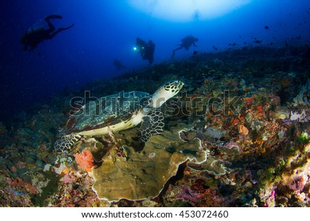 Hawksbill sea turtle eating while group of divers just disturb.... Nusa Penida, Indonesia