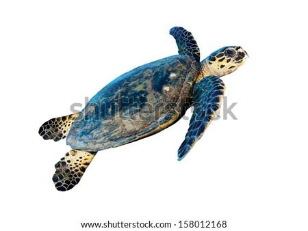 Hawksbill sea turtle (Eretmochelys imbricata), isolated on white background. - stock photo