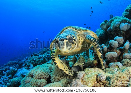 Hawksbill Sea Turtle (Eretmochelys imbricata) on underwater coral reef in ocean - stock photo