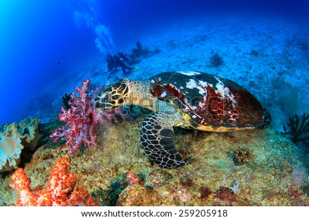 Hawksbill Sea Turtle feeds on coral with people scuba diving in background - stock photo
