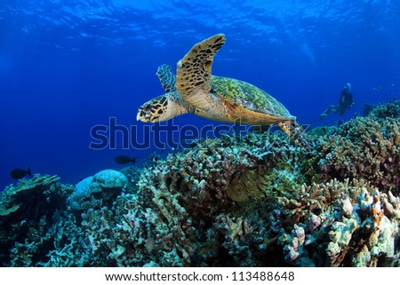 Hawksbill sea turtle in the tropical coral reef