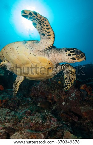 Hawksbill Sea Turtle Lit from Below with a Sunburst in the Background - stock photo