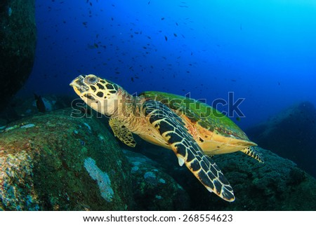 Hawksbill Sea Turtle on coral reef