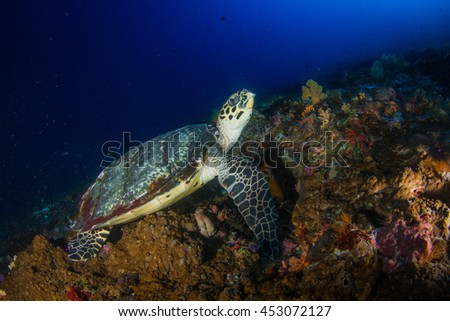 Hawksbill sea turtle resting on the reef. Nusa Penida, Indonesia