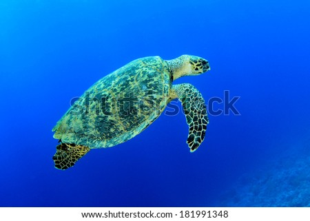 Hawksbill Sea Turtle swims over coral reef - stock photo