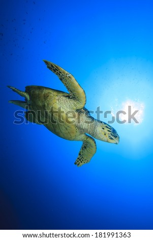 Hawksbill Sea Turtle swims over coral reef