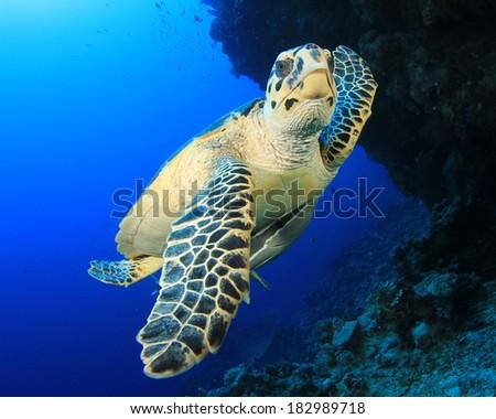 Hawksbill Sea Turtle underwater - stock photo