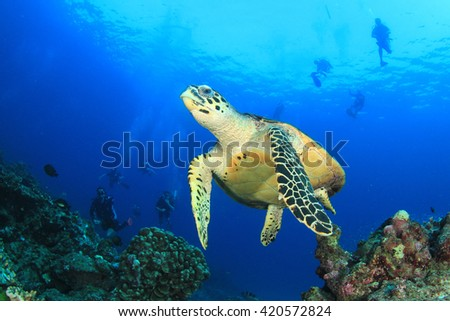 Hawksbill Sea Turtle with scuba divers in background