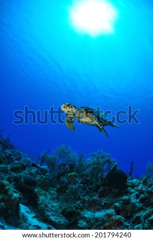 Hawksbill Turtle ascending over Reef, Grand Cayman - stock photo