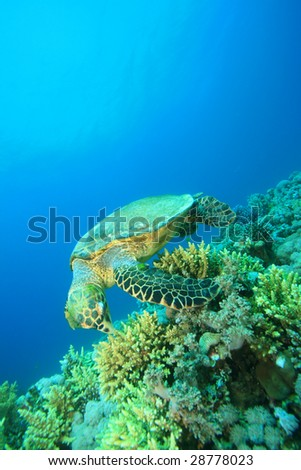 Hawksbill Turtle biting on Coral - stock photo
