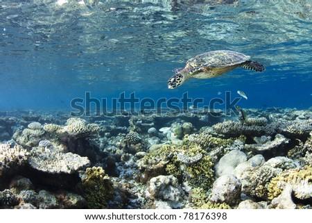 Hawksbill Turtle dive in blue lagoon of Maldives - stock photo