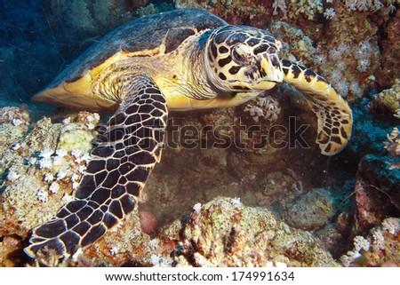 Hawksbill turtle (Eretmochelys imbricata)  - stock photo