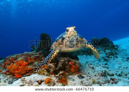 Hawksbill Turtle (Eretmochelys imbriocota) in Cozumel Mexico - stock photo