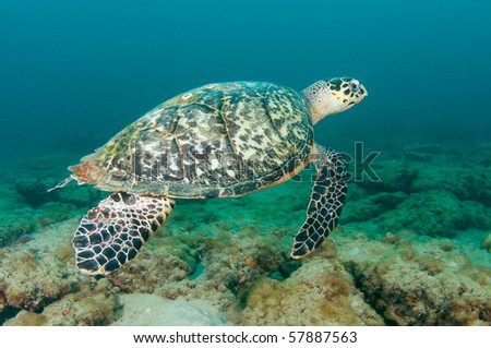 Hawksbill Turtle-Eretmochelys imbriocota,picture taken in Broward County Florida - stock photo