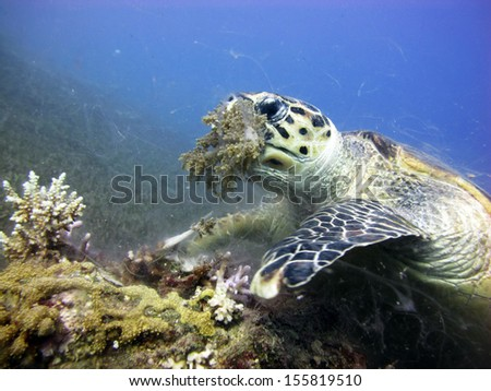 Hawksbill turtle feeding on soft coral - stock photo