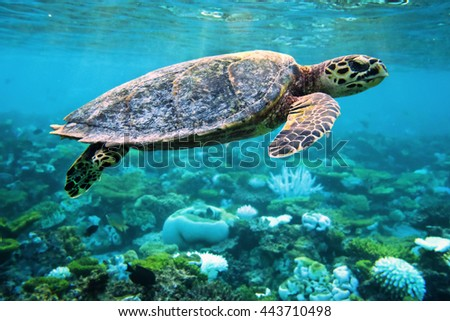 hawksbill turtle floating up in the sea and shallow coral