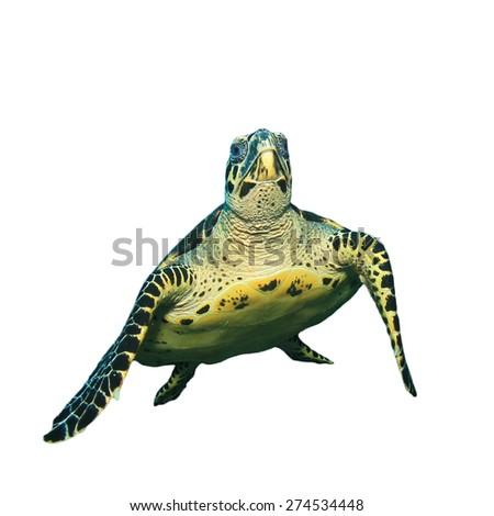 Hawksbill Turtle isolated - stock photo