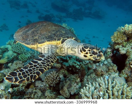 Hawksbill turtle looking for a tasty snack - stock photo