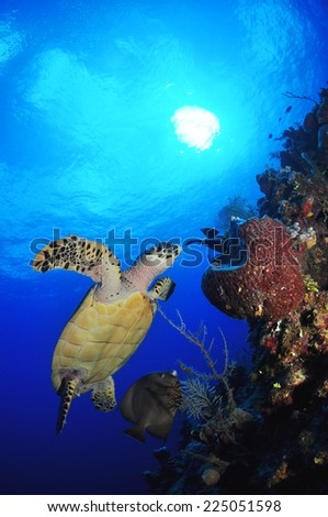 Hawksbill Turtle munches on a Barrel Sponge under the midday sun, Grand Cayman