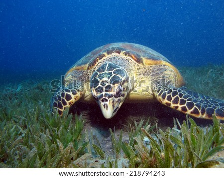 Hawksbill turtle on a seagrass field looking for something to eat