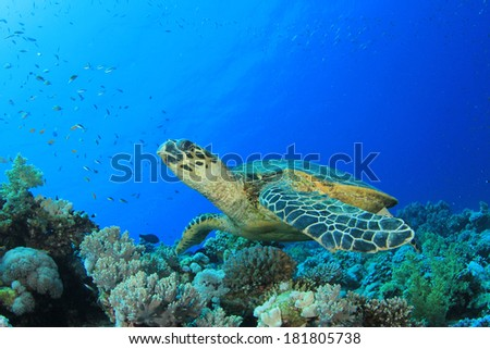 Hawksbill Turtle on coral reef - stock photo