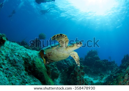 Hawksbill Turtle on the reef