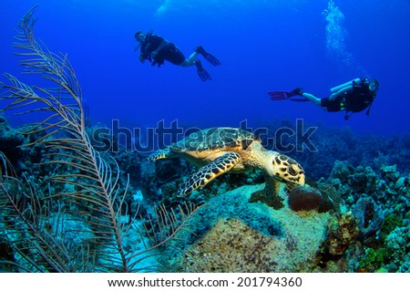 Hawksbill Turtle on the Reef with Divers, Grand Cayman - stock photo