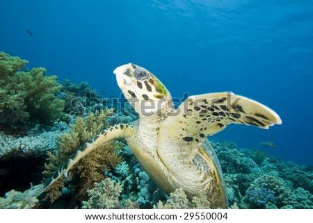 Hawksbill Turtle raises a fin - stock photo