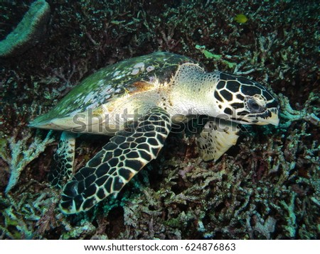 hawksbill turtle swiming above a coral