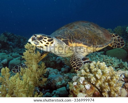 Hawksbill turtle swimming over a reef saddle - stock photo