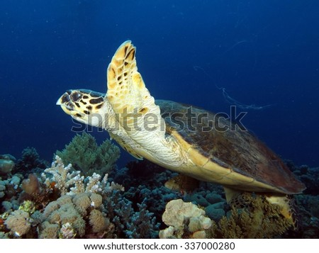 Hawksbill turtle swimming over coral reef - stock photo