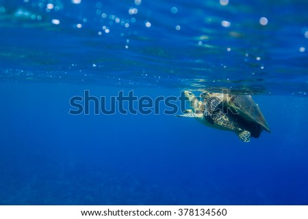 Hawksbill turtles, Eretmochelys imbricate, mating in the ocean - stock photo