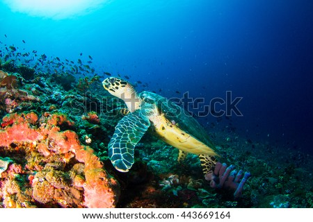 Hawksbille sea turtle (Eretmochelys imbricata) following the reef at Nusa Penida, Indonesia.