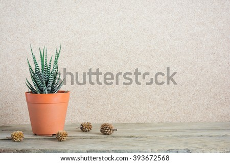 Haworthia Fasciata or succulent plant and pine cones on wooden table background.