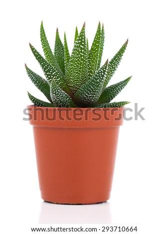 Haworthia Mix, cactus, succulent plant on white background - stock photo